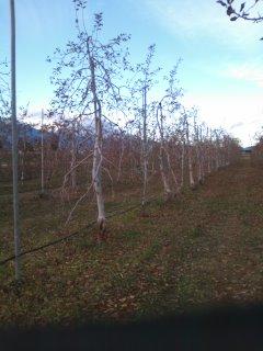 11月28日りんごの収穫終了です。